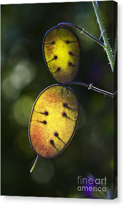 Honesty Seed Pods Canvas Print by Tim Gainey