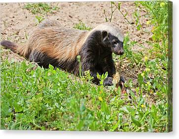 Honey Badger (mellivora Capensis) Canvas Print by Photostock-israel