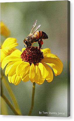 Honey Bee And Brittle Bush Flower Canvas Print by Tom Janca