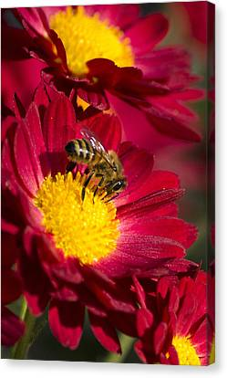 Honey Bee And Chrysanthemum Canvas Print by Christina Rollo
