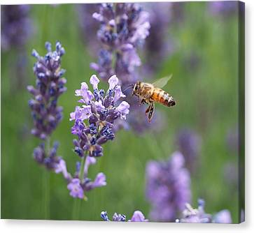 Honey Bee And Lavender Canvas Print by Rona Black