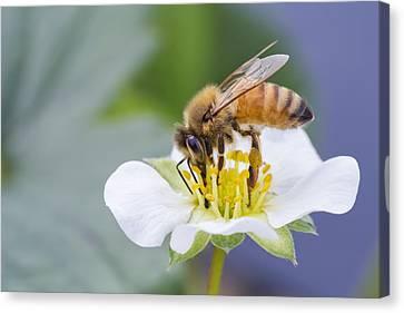 Honey Bee Canvas Print by Mircea Costina Photography