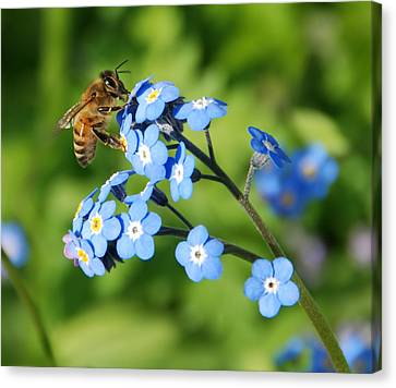 Honey Bee On Forget-me-not Flowers Canvas Print by Marv Vandehey