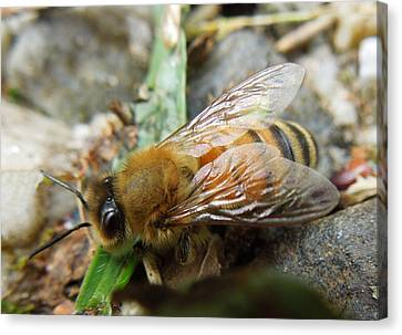 Honey Bee Canvas Print by Pete Trenholm