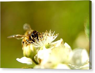 Honey Bee Two Canvas Print by Joshua Ward