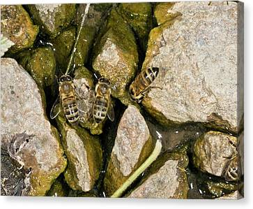 Honey Bees Drinking Canvas Print by Bob Gibbons
