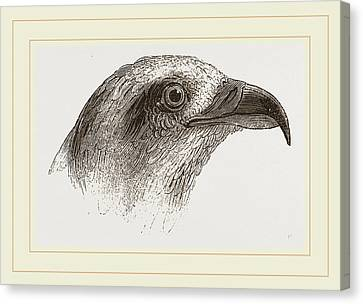 Honey-buzzard Canvas Print by Litz Collection