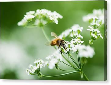 Honey Season Canvas Print by Alexander Senin