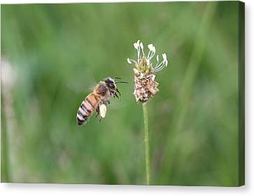 Honeybee And English Plantain Canvas Print by Lucinda VanVleck