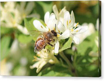 Honeybee And Honeysuckle Canvas Print by Lucinda VanVleck