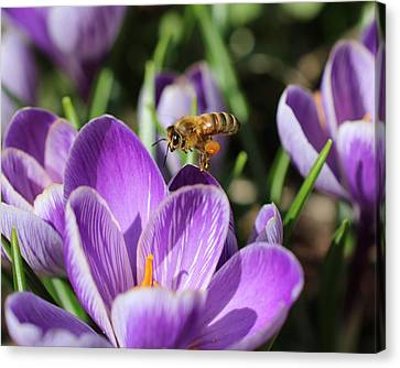 Honeybee Flying Over Crocus Canvas Print by Lucinda VanVleck