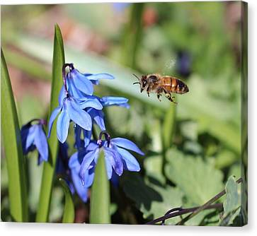 Honeybee In Flight Canvas Print by Lucinda VanVleck