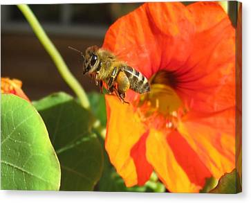 Honeybee Leaving Nasturtium With A Full Pollen Basket Canvas Print by Lucinda VanVleck