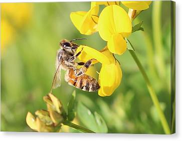honeybee on Birdsfool Trefoil Canvas Print by Lucinda VanVleck
