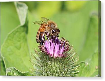 Honeybee On Burdock Canvas Print by Lucinda VanVleck