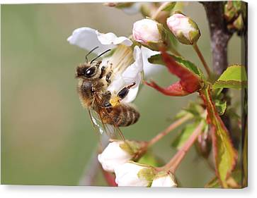 Honeybee On Cherry Blossom Canvas Print by Lucinda VanVleck