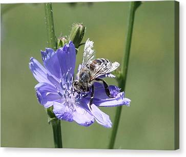 honeybee on Chickory Canvas Print by Lucinda VanVleck