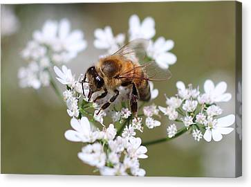 Honeybee On Cilantro Canvas Print by Lucinda VanVleck