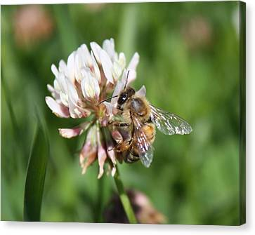 Honeybee On Clover Canvas Print by Lucinda VanVleck