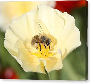 Honeybee On Cream Poppy Canvas Print by Lucinda VanVleck