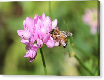 Honeybee On Crown Vetch Canvas Print by Lucinda VanVleck