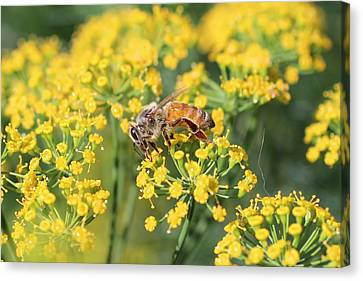 Honeybee On Dill Canvas Print by Lucinda VanVleck