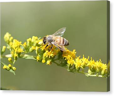 Honeybee On Goldenrod Twig Canvas Print by Lucinda VanVleck