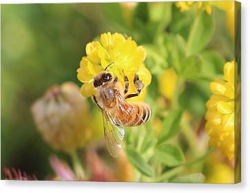 Honeybee On Hop Clover Canvas Print by Lucinda VanVleck