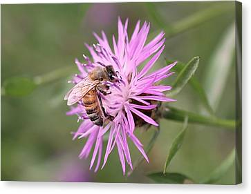 Honeybee On Ironweed Canvas Print by Lucinda VanVleck