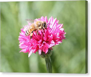 Honeybee On Pink Bachelor's Button Canvas Print by Lucinda VanVleck