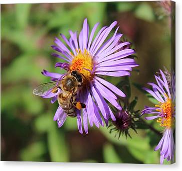 Honeybee On Purple Wild Aster Canvas Print by Lucinda VanVleck