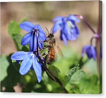 Honeybee On Siberian Squill Canvas Print by Lucinda VanVleck