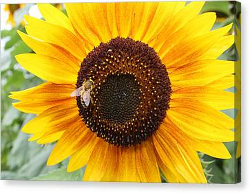 Honeybee On Small Sunflower Canvas Print by Lucinda VanVleck