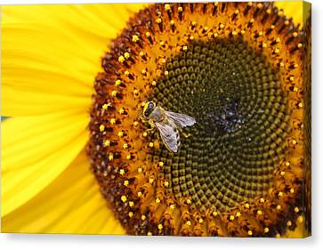 Honeybee On Sunflower Canvas Print by Lucinda VanVleck