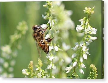 Honeybee On Sweet Clover Canvas Print by Lucinda VanVleck