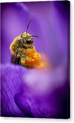 Honeybee Pollinating Crocus Flower Canvas Print by Adam Romanowicz