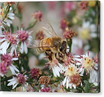 Honeybee Sipping Nectar On Wild Aster Canvas Print by Lucinda VanVleck