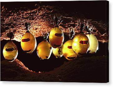 Honeypot Ants Canvas Print by Reg Morrison