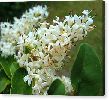 Canvas Print featuring the photograph Honeysuckle #1 by Robert ONeil