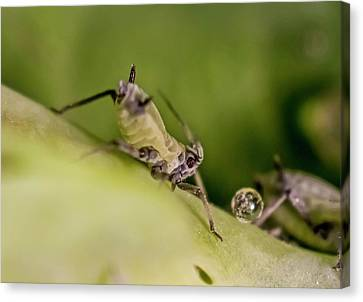 Honeysuckle Aphids Canvas Print by Gerd Guenther
