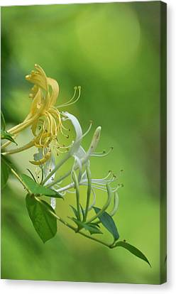 Honeysuckle Canvas Print by Gerald Hiam