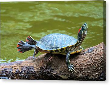 Hong Kong, A Painted Turtle Stretches Canvas Print by Richard Wright
