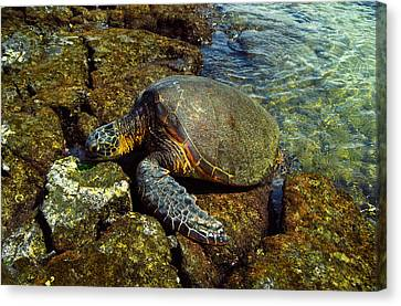 Canvas Print featuring the photograph Honu by Randy Sylvia