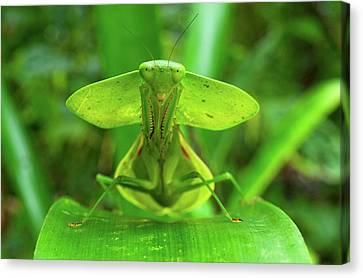 Hooded Mantis (choerododis Rhombifolia Canvas Print by Andres Morya Hinojosa