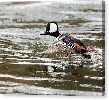 Hooded Merganser Canvas Print by Bill Wakeley