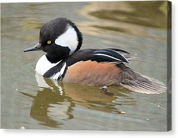 Hooded Merganser Drake Canvas Print