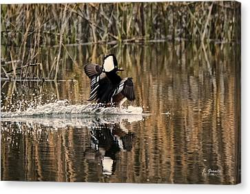 South Carolina State Bird Canvas Print - Hooded Merganser Splashes Down by Joe Granita