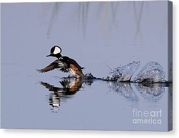 Hooded Merganser Take Off Canvas Print by Jennifer Zelik