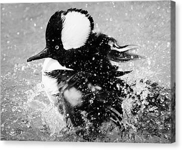 Hooded Merganser Taking A Bath Canvas Print by Paulette Thomas