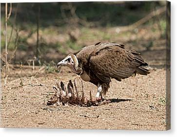 Carcass Canvas Print - Hooded Vulture With Carcass by Tony Camacho